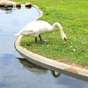 Swan eating grass Stock Photos