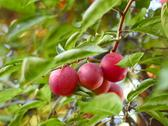 Stock Photo of ripe plum fruit on a branch