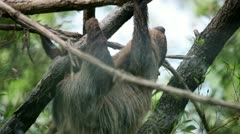 Sloth slowly climibng on tree branches Stock Footage