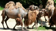 Camels walking around Stock Footage