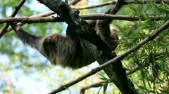 Monkey hanging from tree branches Stock Footage