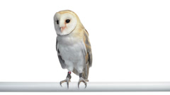 Barn owl perched and looking around Stock Footage