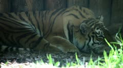 Tiger resting Stock Footage