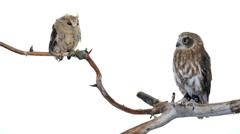 Indian scops owl and souther boobook perched on a branch Stock Footage