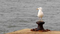 Ria Formosa - Ave - Sea Gull St Luzia A Stock Footage