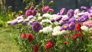 Stock Video Footage of Aster Flowers
