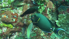 Haemulidae grunt feeds on a coral reef - HD Stock Footage