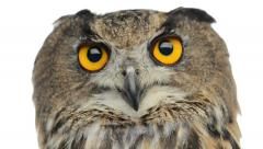 Close-up of an Eurasian eagle owl looking at the camera - stock footage