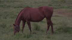 Ultra High Definition 4K - Brown Horse In Farm Field - stock footage