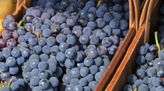 Purple Grapes 1 Stock Footage