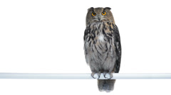 Eurasian eagle owl perched and looking around Stock Footage