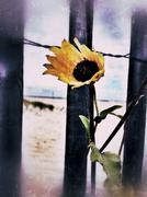 Flower and Fence on Beach - stock photo