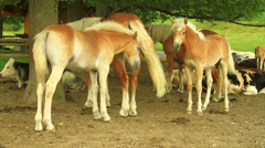 Horses and cows breeding - stock footage