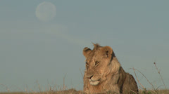 A lion with moon in the background Stock Footage