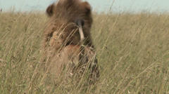 A lion walks away from the camera in tall grass Stock Footage