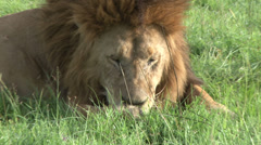 A lion with a thorn in his paws tries to remove it. Stock Footage