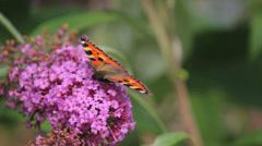 Butterfly on purple flower, Closeup Stock Footage