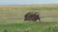 A pregnant hippo walks slowly with plants on  her back Stock Footage