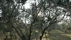 Pan shot of the olive tree Stock Footage