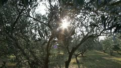 Pan shot of the olive tree - stock footage