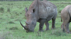 A white rhino grazing in the park. Stock Footage