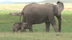 Baby elephant scratching on mothers leg Stock Footage