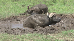 Bufallos wallowing in the mud Stock Footage