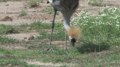 Crown crane eating grass Stock Footage