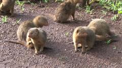 Dwalf mongoose playing 2 Stock Footage