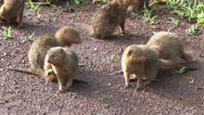 Stock Video Footage of dwalf mongoose playing 2
