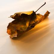 Brownish leaves on white background - stock photo