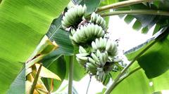 Banana tree on raining day outdoors Stock Footage