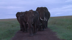 Elephants blocking the road early morning Stock Footage