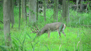 Stock Video Footage of Whitetail Deer Bucks