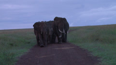 Elephants blocking the road in early morning. Stock Footage