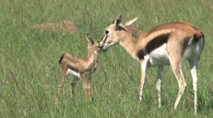 Gazelle mother cleaning baby Stock Footage