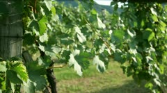 Slide shot in the wineyard and stopping at the delicious grapes that are - stock footage