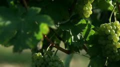 Close up slide shot of a perfect and delicious grapes that are light up - stock footage