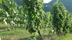 Sceneric wineyard with amazing landscape in the backgrounds Stock Footage