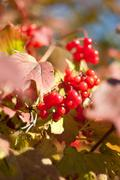 Red berries of viburnum with leaves Stock Photos