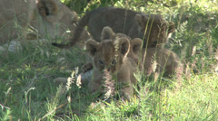 Lion cubs eating grass Stock Footage