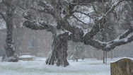 Stock Video Footage of snowing in england: an oak tree in the blizzard