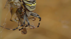 Yellow spider and prey struggling Stock Footage