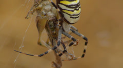 Yellow spider eating grasshoper extreme close up Stock Footage
