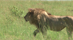 Lion stalking for a hunt Stock Footage