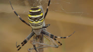 Stock Video Footage of yellow spider clutching prey