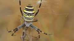 Yellow spider in web Stock Footage