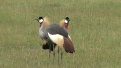 singing crown cranes - stock footage