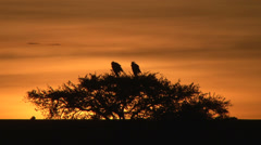 Secretary bird in the rising sun Stock Footage