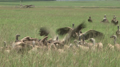 Vultures comes to the food Stock Footage